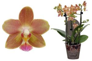 Phalaenopsis Fragrance