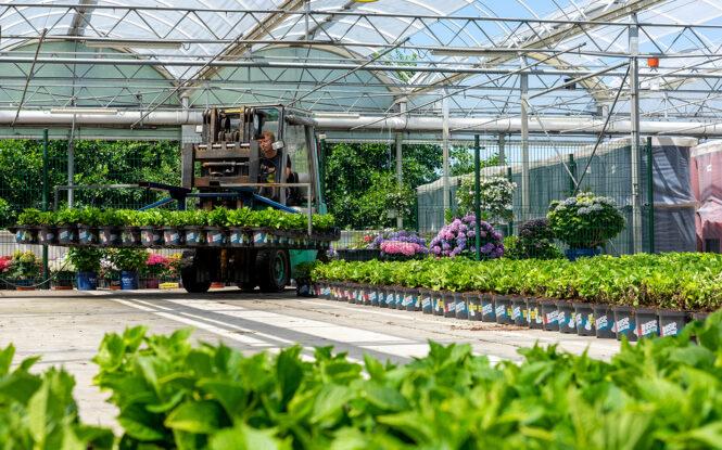 De Jong plants