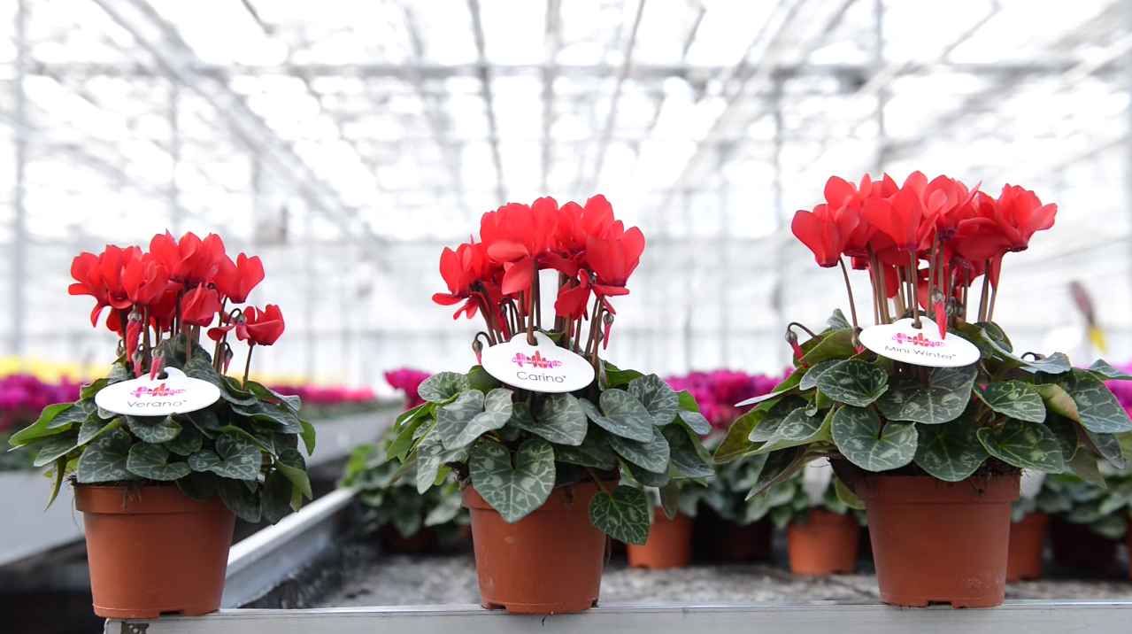 Cyclamen Schoneveld Breeding