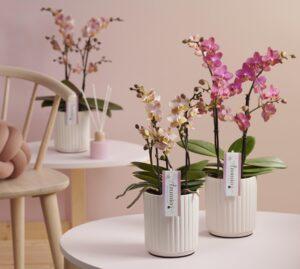 Phalaenopsis Aromio